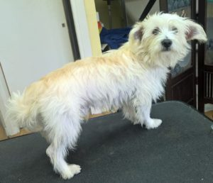 mixed-breed-leeds-dog-grooming-before