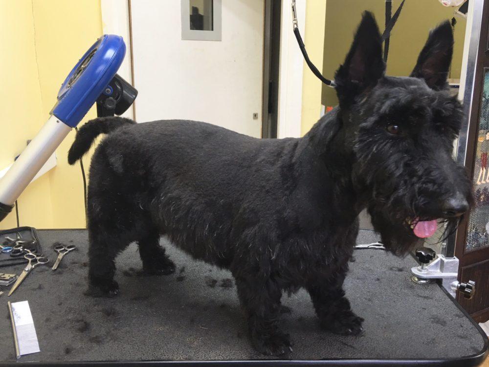 Scottish Terrier after dog groomer leeds