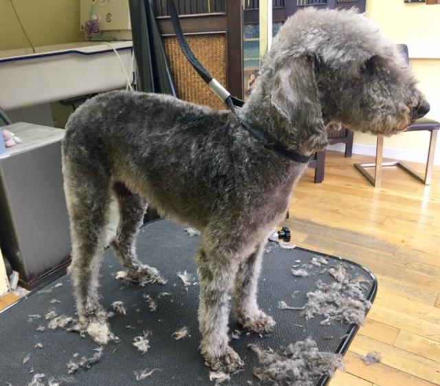 beddington terrier grooming