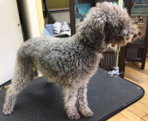 beddington-terrier-grooming-before