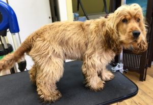 cocker-spaniel-dog-grooming-before